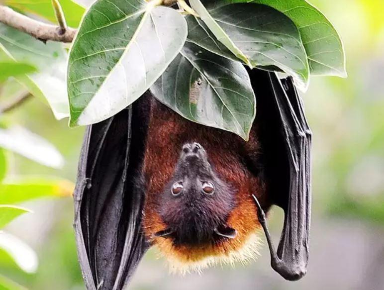 Bats  Coronavirus